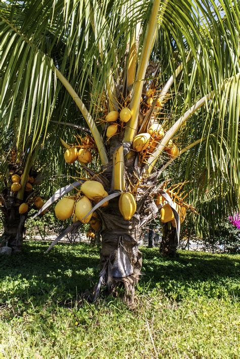Uses Of The Coconut Palm by Fertilizer For Coconut Tree When And How To Fertilize