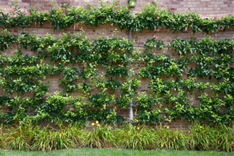 vines espaliers and other flat plants neil sperry s gardens