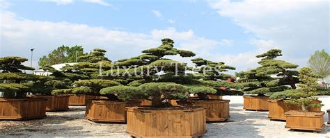 garten bonsai exklusive gartenbonsai kaufen 187 luxurytrees 174 shop