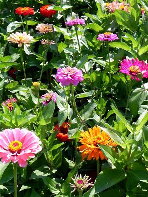 Zinnias Flower Garden Power Of The Flower Zinnias