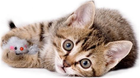 who plays cat 10 safe ways for your cat to play cattime