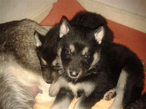 german shepherd husky puppies for sale german shepherd x husky puppies driffield east of pets4homes