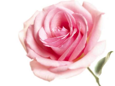 Wallpaper Pink Rose | wallpapers pink rose wallpapers