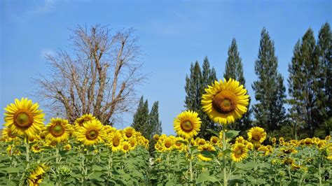 sunflower farm i love to travel with videocobra sunflower farms hua