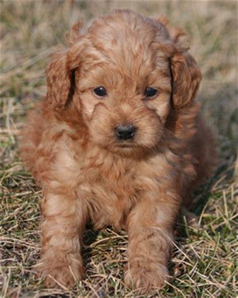 miniature poodles the poodle information center point click care login bing images
