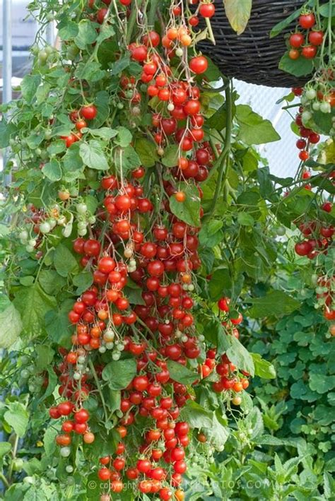 when i grow as as a cherry tree books 53 best images about hanging tomatoes on grow