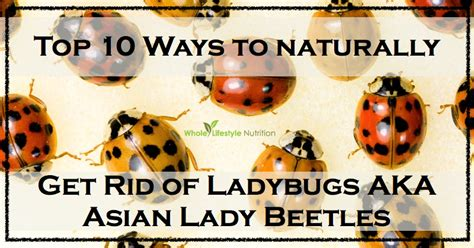 how to get rid of ladybugs inside house how to get rid of ladybugs inside my house 28 images how to get rid of ladybugs in