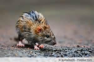 ratten im garten erkennen rattenkot erkennen gr 246 223 e aussehen und geruch