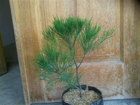 Bibit Pohon Cemara Udang jual bibit unggul tanaman cemara udang she oak bibit