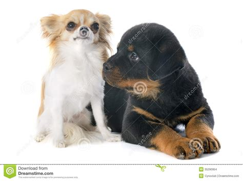 rottweiler chihuahua puppies puppy rottweiler and chihuahua stock images image 35290954