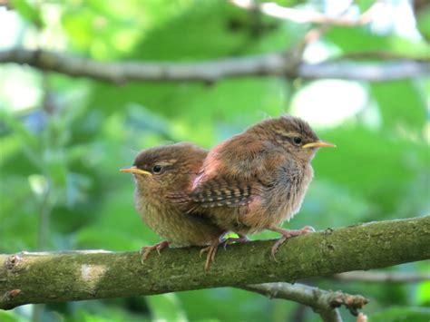 baby wrens nature