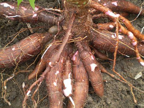 ubi a masuk hospital akibat berseronok dengan batang ubi