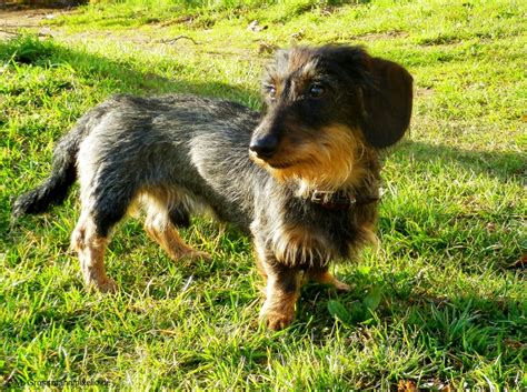 wire haired dogs types of wire haired dogs