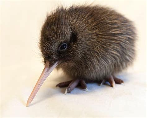 kiwi kiwi a flashpacking journey around new zealand books west coast wildlife centre franz josef new zealand top