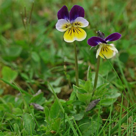 tri color viola tricolor