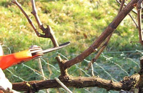 comment tailler une treille de raisin la vigne esp 232 ce et culture taille de la vigne raisin de