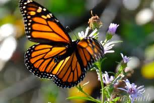 The Monarch Butterfly monarch butterfly migration goodmorninggloucester