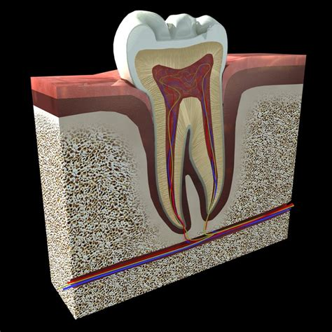 cross section of tooth tooth cross section 3d 3ds