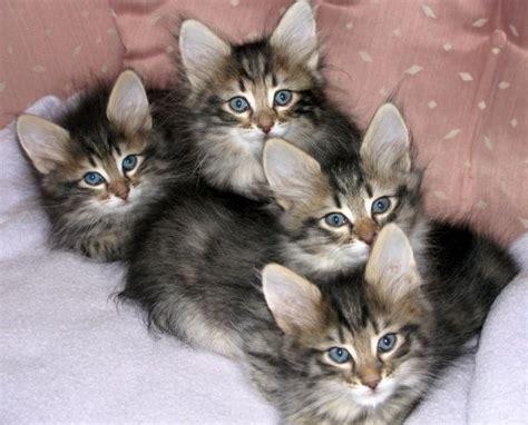 Savana Azhima 23 best beautiful turkish angora cats images on