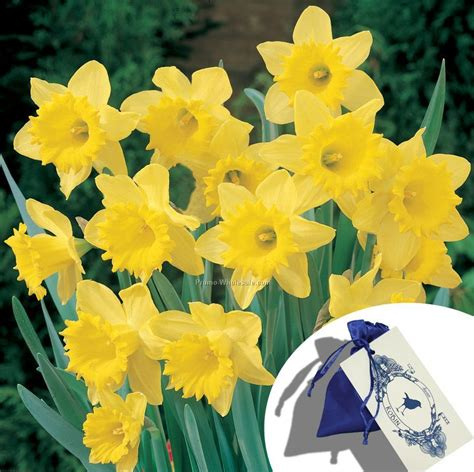 what color is daffodil single daffodil bulb in a satin bag with custom 4 color