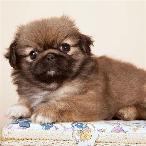 pictures of pekingese puppies brown pekingese puppies www pixshark images