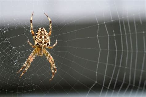 Garden Spider Habits 10 Common Spiders Found In And Around Britain S Homes