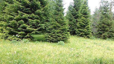 imagenes naturales wikipedia 9725 co con bosque de pinos raw paisajes naturales
