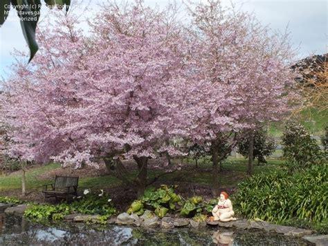 cherry tree nz reviews plantfiles pictures flowering cherry toyko cherry yoshino cherry awanui prunus x yedoensis