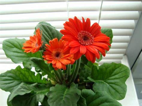 peluang usaha budidaya bunga gerbera  analisa usahanya