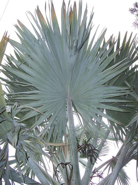 fan palm wikipedia