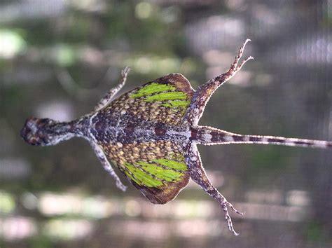 drago volante draco lizard is it really a flying lizard