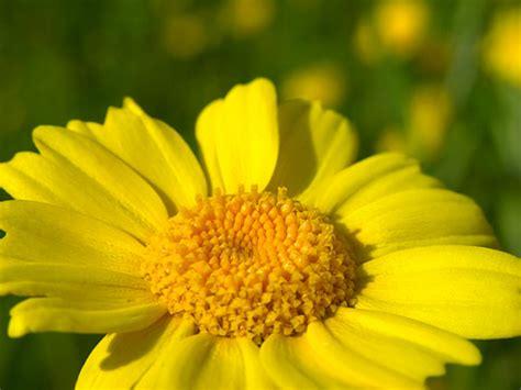 fiori gialli primaverili fiori gialli fiori di co fotografie fiori foto foto