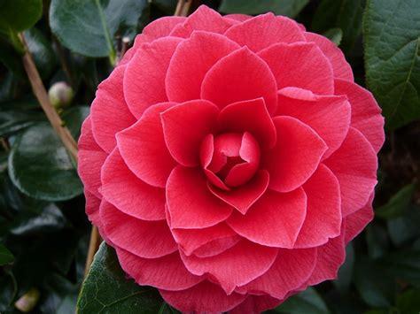 Black Camellia camellia reticulata x williamsii black lace