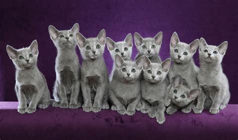 Russian Blue / Nebelung Cat Breed Information