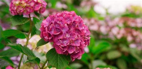 imagenes de hortencias blancas cuidados de las hortensias