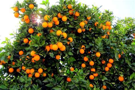piante da frutta in vaso coltivazione agrumi piante da frutta come coltivare