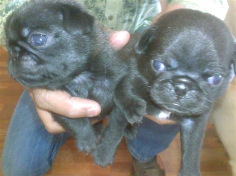 pug puppies price in pune pug puppies for sale sachin singh 1 7699 dogs for sale price of puppies dogspot in