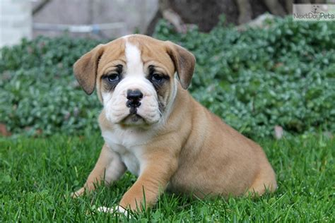 olde bulldogge puppies for sale in pa olde bulldogge breeders in pa breeds picture