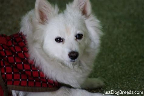 American Eskimo Shedding by American Eskimo Shedding Months Myideasbedroom