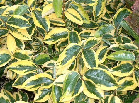 gilt edge elaeagnus  ebbingei life   garden