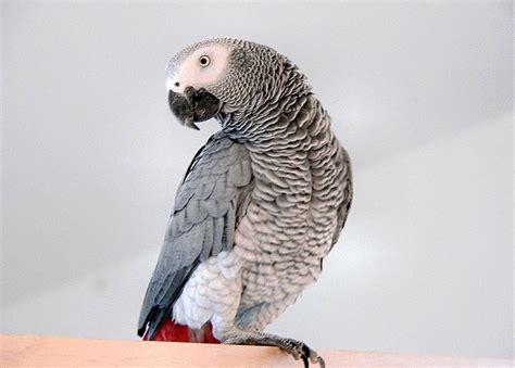 wallpaper grey birds african grey parrot wallpaper wallmaya com