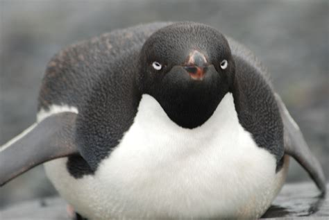 Adelie Penguin - Facts, Habitat, Behavior, Pictures, Life ...