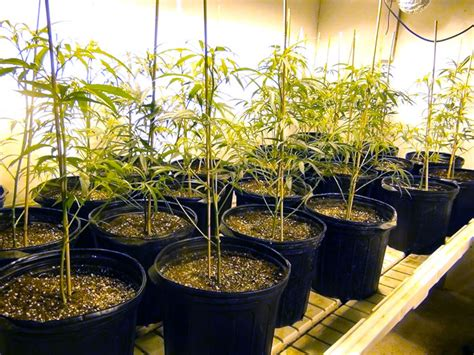 marijuana grow room marijuana growers hq pruning marijuana slugger s grow room marijuana growers hq