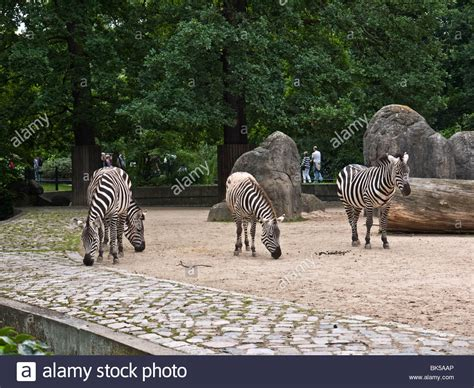 Zoologischer Garten Berlin Germany by Zebras At The Zoologischer Garten Berlin Berlin Zoo