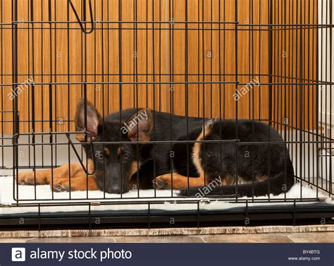 crate german shepherd puppy german shepherd puppy at 4 months in his crate in a utility stock photo
