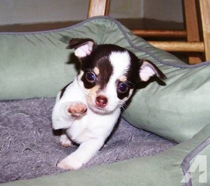 puppies for sale canton ohio designer look chihuahua puppies for sale in canton ohio classified americanlisted