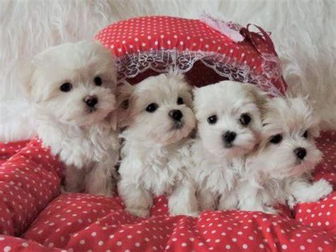 maltese puppies for adoption maltese puppies adoption clasf