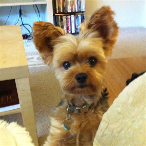 yorkie puppy cut living teddy haircut for franco yorkie baby flies