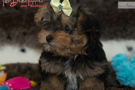 yorkie poo puppies prices yorkiepoo yorkie poo puppy for sale near west palm florida e9a9c01c 09e1