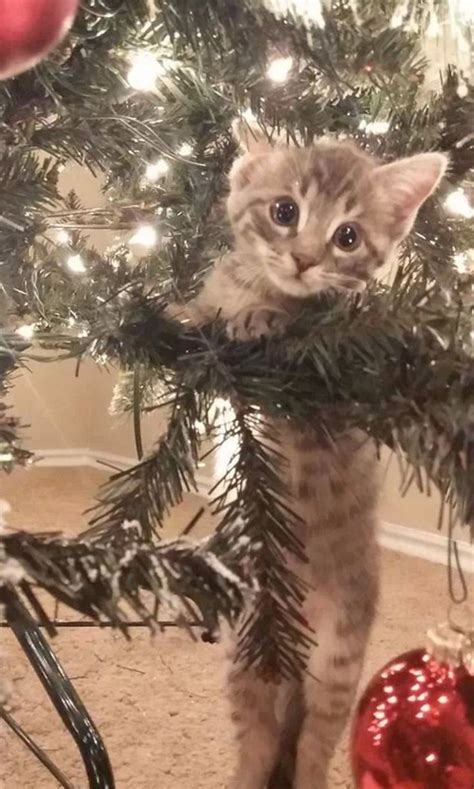 396 best images about christmas cats 1 on pinterest
